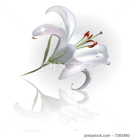 White Lilly Flower Isolated on White Background. Vector illustration 7385880