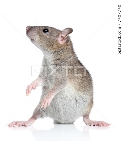 Rat posing on a white background 7407740