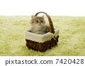 小貓 南美栗鼠 貓咪 7420428