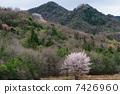野樱桃树 野樱桃花 风景 7426960