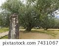 橄榄树 树 树木 7431067