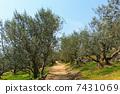 橄榄树 树 树木 7431069