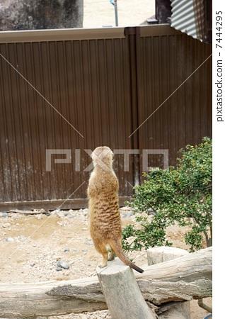 meerkat 7444295