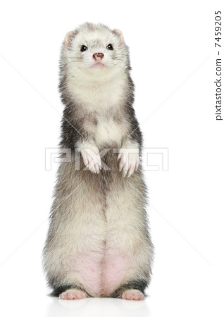 Ferret standing on a white background 7459205