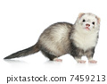 Ferret on a white background 7459213