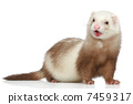 Ferret on a white background 7459317