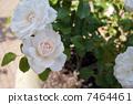淡珊瑚的玫瑰 7464461