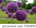 紫色圓花 7464464