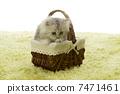 小貓 南美栗鼠 波斯貓 7471461