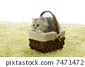 小貓 南美栗鼠 波斯貓 7471472