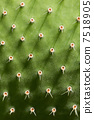spikes thorn opuntia 7518905