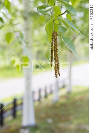 자작 나무 꽃가루 7562312
