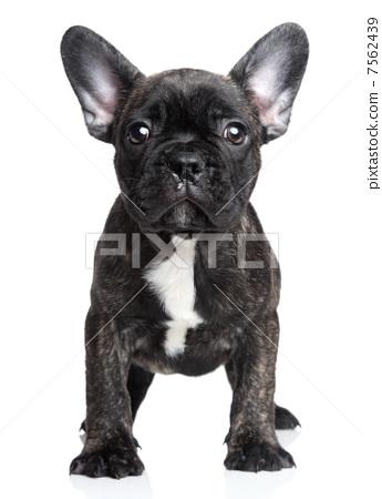 French bulldog puppy on a white background 7562439