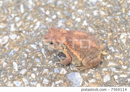 미야코 두꺼비 7569114
