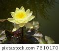 睡蓮 花朵 花 7610170