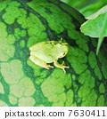 青蛙 八月 西瓜 7630411