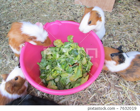 Good friend guinea pig (ostrich kingdom / Sodegaura city, Chiba prefecture) 7632019
