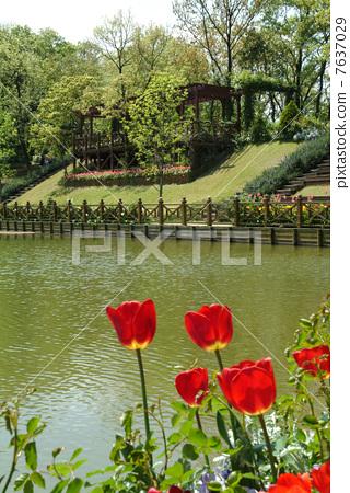Jardin Anglais English Garden Rose Stock Photo 7637029 Pixta