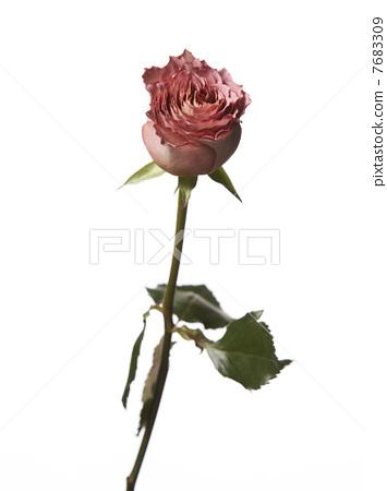 Carnation 7683309