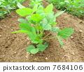 大豆的生长 7684106