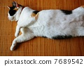 lying on back, calico cat, cat 7689542