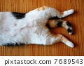 lying on back, calico cat, cat 7689543