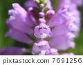 ดอกไม้ของ Hanatraneo 7691256