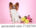 Papillon dog on pink background 7730799