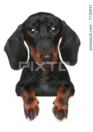 Mini dachshund. Close-up portrait 7730847