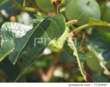 吃柿子葉幼蟲幼蟲昆蟲圖片材料害蟲 7730997