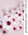 Cherry blossoms 7733512