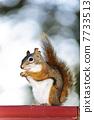 Tree squirrel eating peanut on red railing 7733513