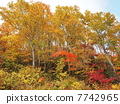 beech forest, maple, yellow leafe 7742965