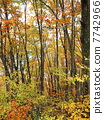 beech forest, maple, yellow leafe 7742966