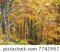 beech forest, maple, yellow leafe 7742967
