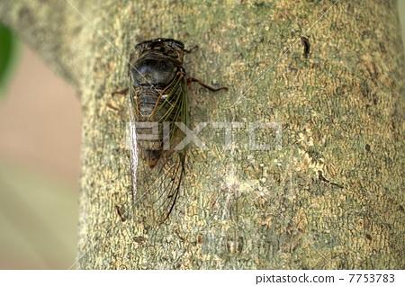 Cicadas caught in a tree 7753783