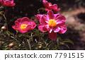 Peony root, large flower raft 7791515