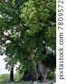 Large Zelkova trees at the age of 1500 Higashine Elementary School 7809572