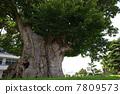 Great zelkova designated special natural treasure 7809573