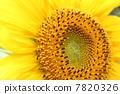 sunflower 7820326