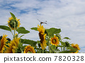 Sunflower and dragonfly 7820328
