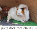 Guinea pig 7820330