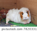 Front of the guinea pig 7820331