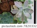 Succulent plants 7820332