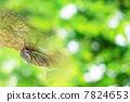 cicada, one animal, cryptotympana facialis 7824653