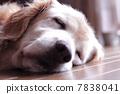 金毛猎犬 狗 狗狗 7838041