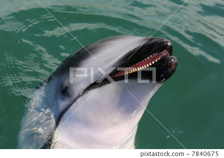 Dolphins 7840675