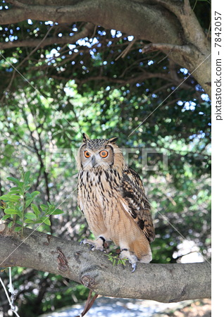 Standing in the forest Earthworms Owl Owl Birds of Prey Bengal Washimi Misuku chicks 7842057