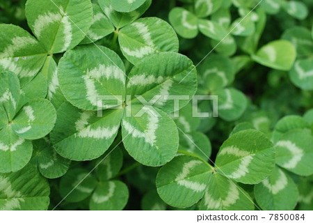 Four leaves clover 7850084