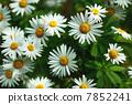 濱菊 浜菊 花朵 7852241